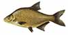 pecanje bele ribe